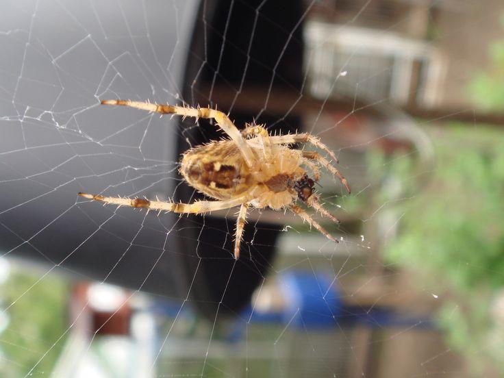 Keresztes pók