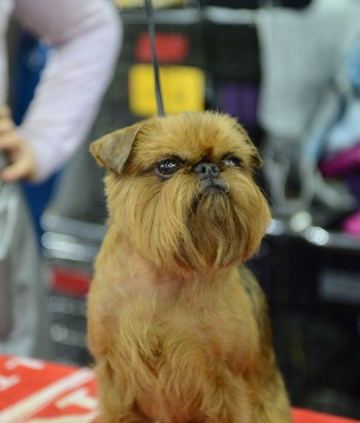 A Brussels Griffon assesses his competition backstage at the Westminster Dog Show.