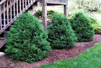 "Buxus x Green Mountain  Green Mountain Boxwood    4' x 3'. Zone 4-8. Medium to Fast Growth Rate; 2"" - 4"" per year. Part Sun. Sun. Shade."