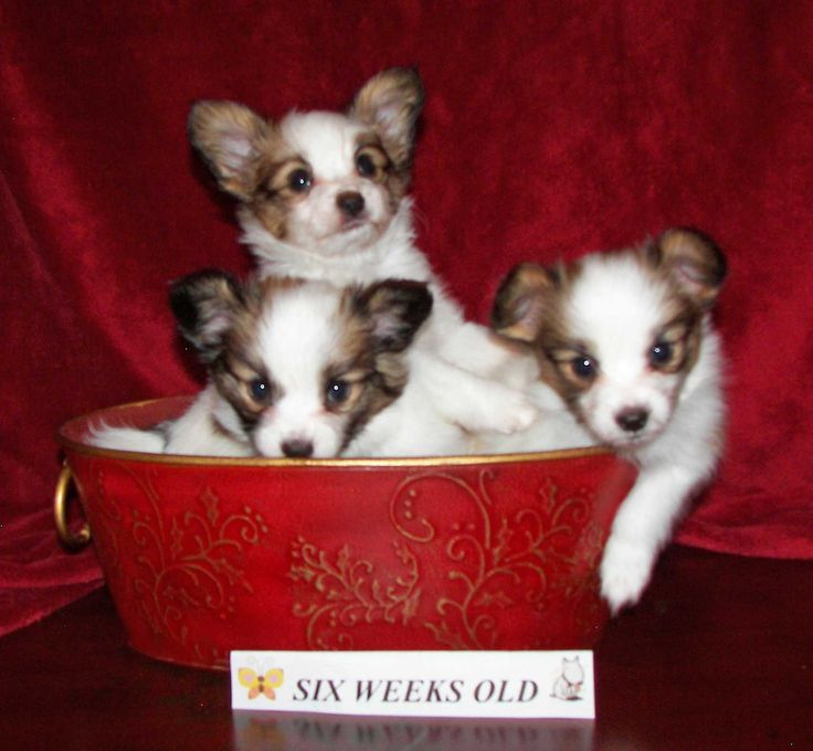 Papillion puppies!!!  :D  I think my Bebe is part Papillion & part long-haired chihuahau!!