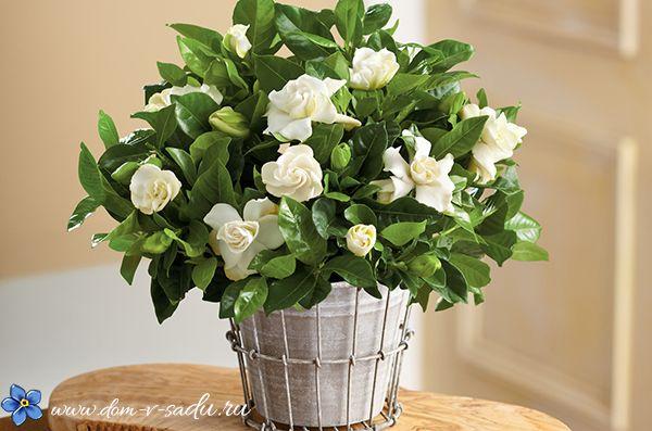 Цветущие комнатные цветы. 17 красиво цветущих комнатных растений, которые преобразят ваш дом! | Красивый Дом и Сад
