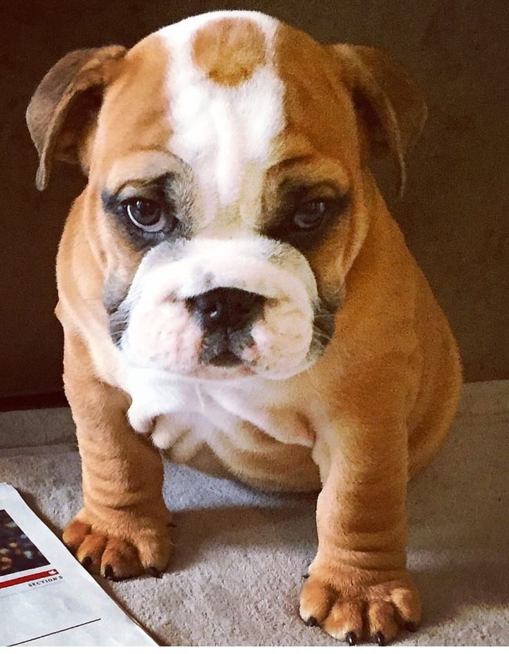 curios george the bulldog ❤️