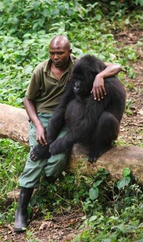 For this mountain gorilla whose mother was killed by poachers, the pain is all too real. In an emotional display of mourning, the dismayed gorilla holds onto park ranger Patrick Karabaranga for support.