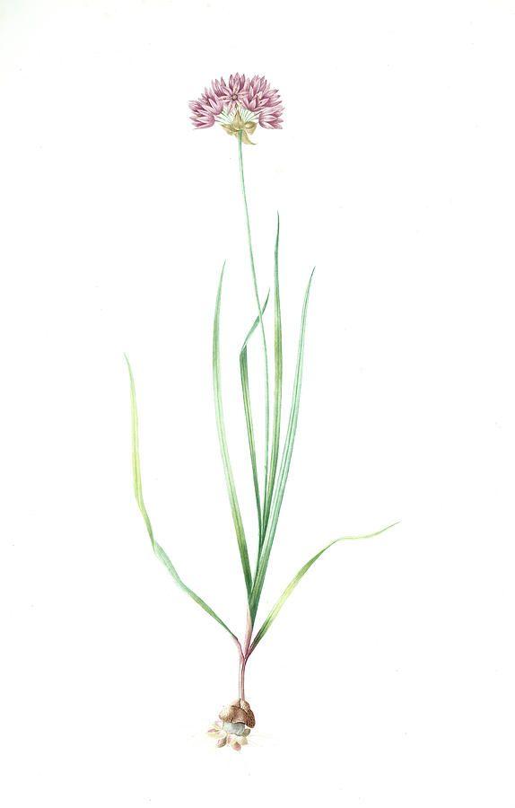 Allium Roseum Ail Rose Rose Garlic Redoute By Artokoloro Garlic Flower Garlic Plant Tattoo