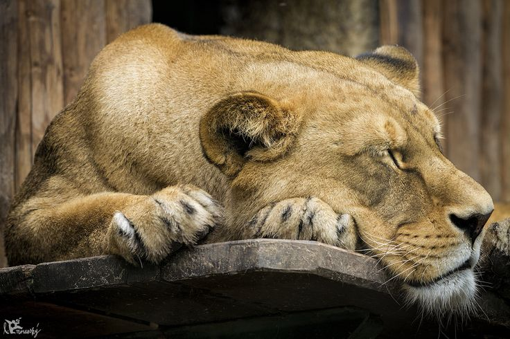 Levica/lioness
