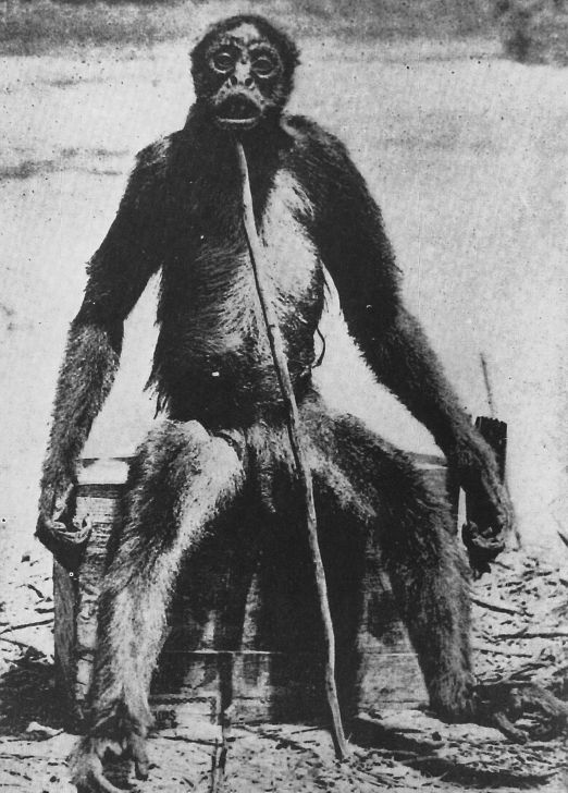 This creature was killed on the Venezuela/Colunbia border in 1917 by Francois De Loys and his party. This creature appears to be a very man-like ape. It has never been identified as a known species. De Loys group was attacked by a group of these creatures and they shot and killed one of them. The creature was about 5 ft tall and had a very human like appearance and movements.