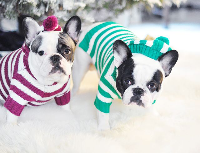 French Bulldogs in #french stripes