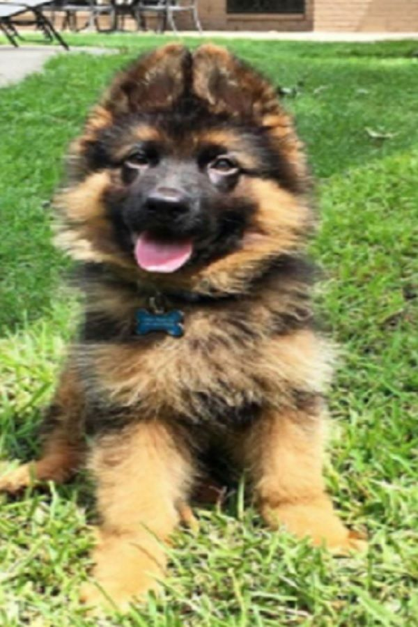 Top 10 Cutest German Shepherd Puppies Of All Time Video In 2020