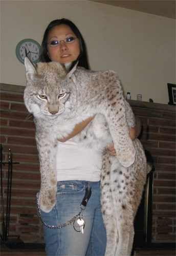 Lynx Pet Cat For Sale