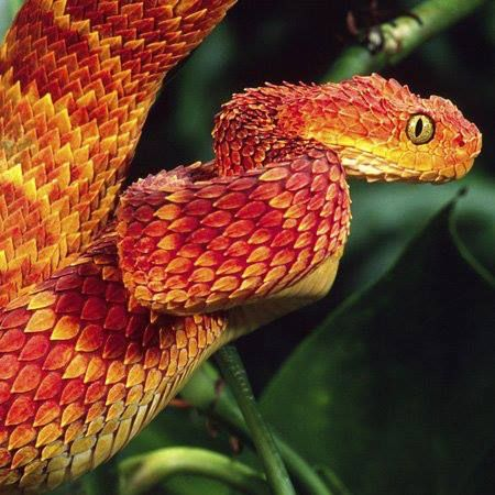 these things are like the coolest ever african bush viper sadly they'd probably kill you if you tried to have it as a pet
