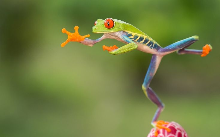 This red-eyed tree frog could put an Olympic long jumper to shame. Agalychnis callidryas is native to the Neotropical rain forests of Centra America and can leap up to a metre and a half.  picture: Nicolas Reusens/Barcroft