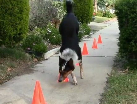 Jumpy the Australian Border Collie performs some amazing stunts <3