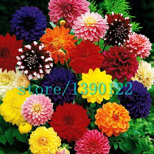 100pcs Dinner Plate rainbow Dahlia seeds, Chinese Peony bonsai flower seeds ,22 colors to choose, for home garden plantting [Affiliate]
