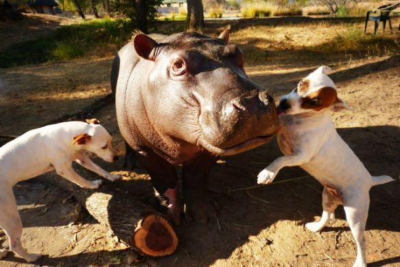 DOLLY HEROES Douglas the orphaned hippo spent more than a year recovering with the help of two Jack Russell Terriers ❤ Dolly