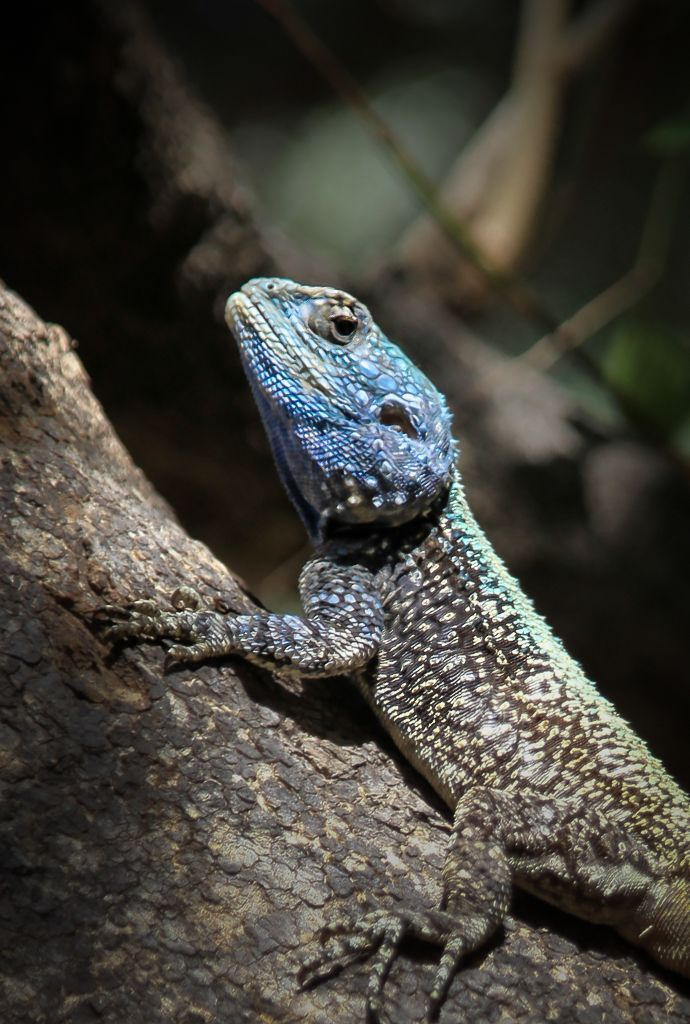 Southern rock agama (Agama atra) at Kruger National Park, South Africa.  (c) Miikka Järvinen, from my gallery South African Wildlife http://miikkajarvinen.wordpress.com/2014/02/21/south-african-wildlife/