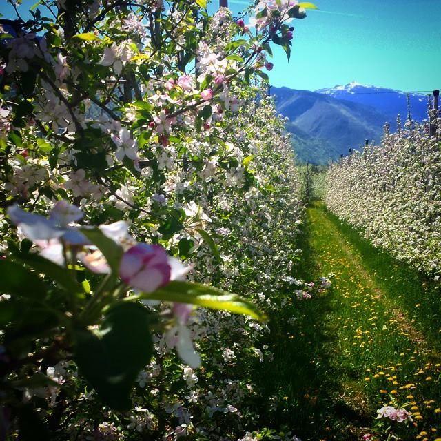 Passeggiando tra i #meli in #fiore! #apriledolcefiorire #FlowerSelfie