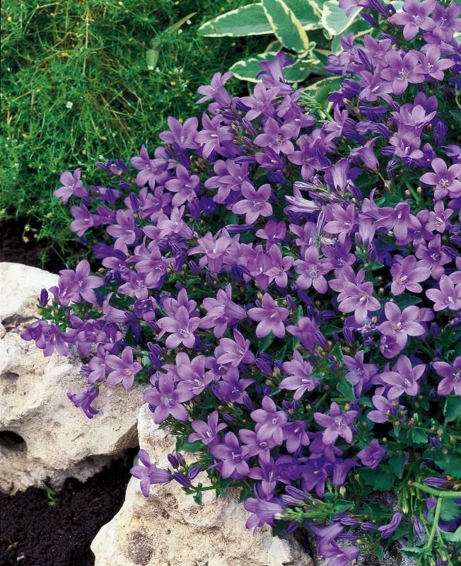 Campanula port. Catherina  Campanula Catharina is a low growing evergreen perennial, with dark-green leaves and vivid violet-blue, bell-shaped flowers in summer.   Great for groundcover on rock gardens, also suitable for containers and the edge of the summer border.   Requires moist well drained soil in sun or part-shade.