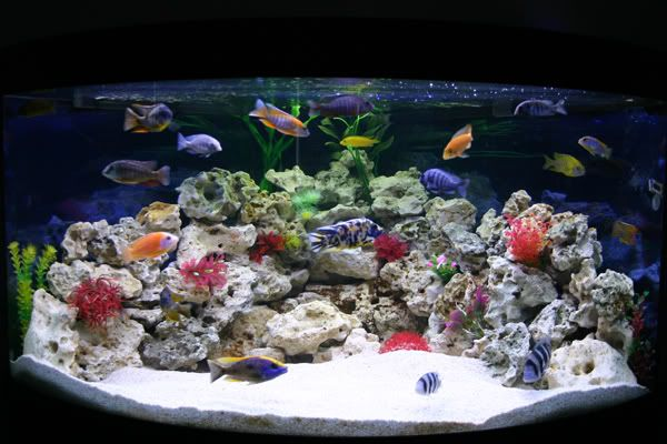 Cool Cichlid tank : Freshwater