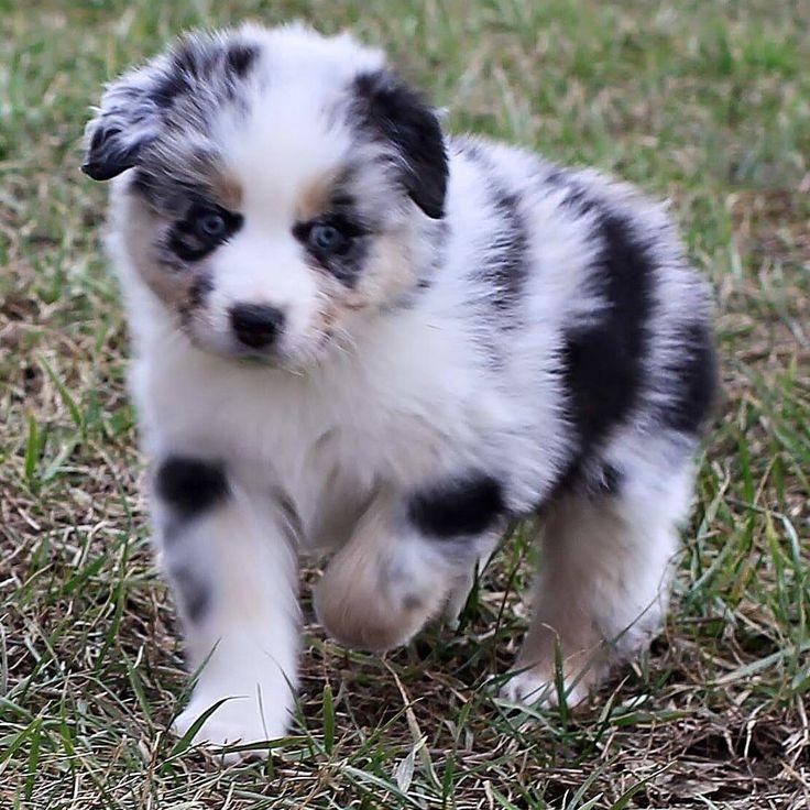 Beautiful Cute Puppy Blue Eye Adorable Dog - 0ce6145b7dd899dd4d5b3c3aaf7a9fc2--cutest-puppy-adorable-puppies  Photograph_807359  .jpg