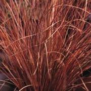 BRONSSTARR 'Milk Chocolate' Carex comans (grass)
