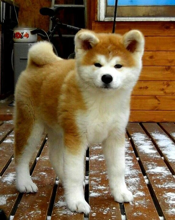 Japanese Akita.~~he was bred to hunt big game such as bear, boar and elk. He can…                                                                                                                                                                                 More