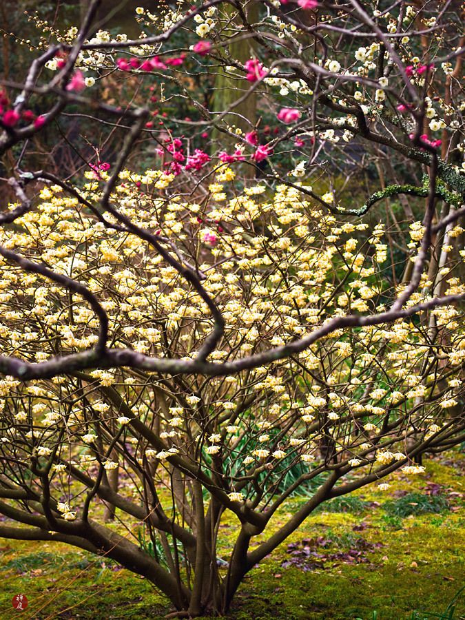 FROM THE GARDEN OF ZEN: The flowers of Mitsumata (Edgeworthia chrysantha) in Tokei-ji