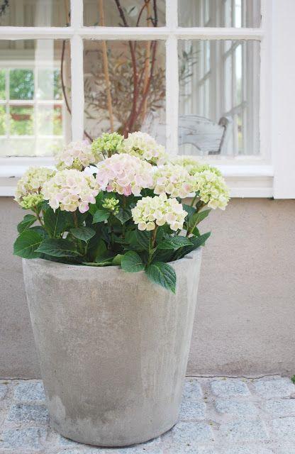 hortensia in pot mooi op het terras leefplezier bloemen worden mensen vrolijk