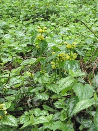 yellow dead nettle