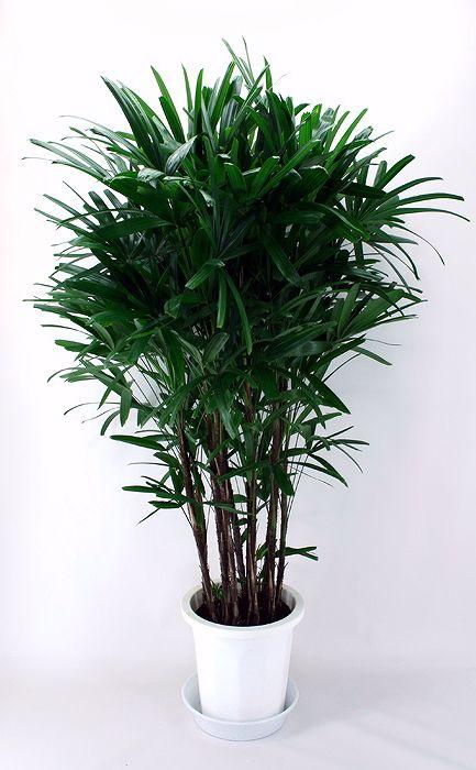 観葉植物-観音竹(カンノンチク)-10号鉢.