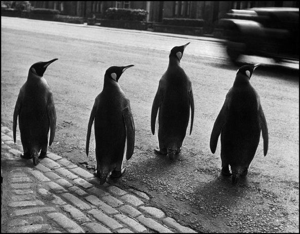 EDINBURGH, Scotland—The director of the zoo walks the penguins through the city every week to attract people to the zoo, 1950.  © Werner Bischof / Magnum Photos Magnum Photos