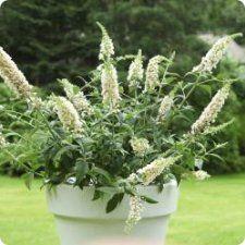 Minibuddlejan chip blir bara 50-80 cm hög! Bra i liten trädgård eller på balkongen. Blommar juni-september och trivs i sol-halvskugga.