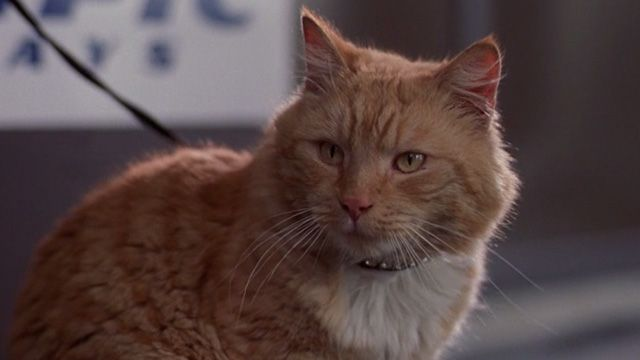 A fancy orange tabby is completely unimpressed with the dog yapping at the airport in For the Love of Benji (1977).