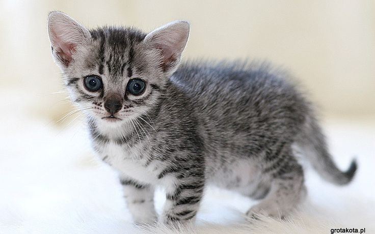 mały kot egipski
