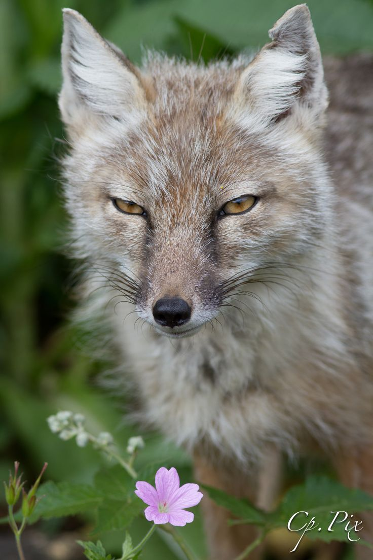 corsac fox | animal + wildlife photography