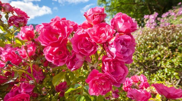 Розы в цветнике