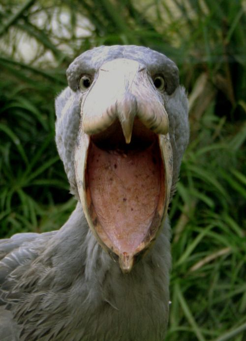 SHOEBILL STORK - Yikes!Balaeniceps rex© Zdeněk Chalupa  I couldn't resist - these pre-historic looking birds never cease to amaze me :)  This species was only classified in the 19th century when some skins  were brought to Europe.  It was not until years later that live  specimens reached the scientific  community. However, the bird was known  to both ancient Egyptians and Arabs. There are Egyptian images depicting the Shoebill, while the Arabs referred to the bird as abu markub, which mean
