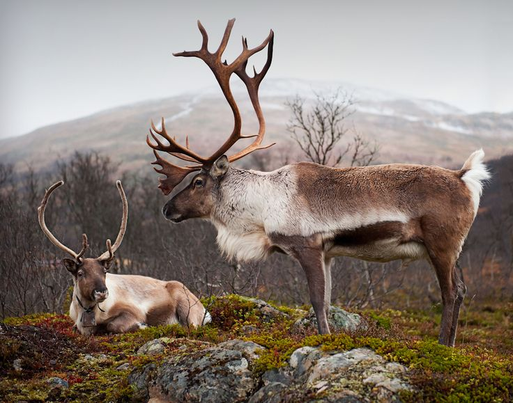 Reindeer(Rangifer tarandus) x 2 - Kvaloeya, Troms, Norway  image by Tommy Hågensen