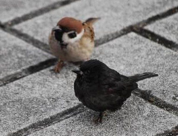 アルビノの逆。全身黒色「メラニズム」のスズメさん。