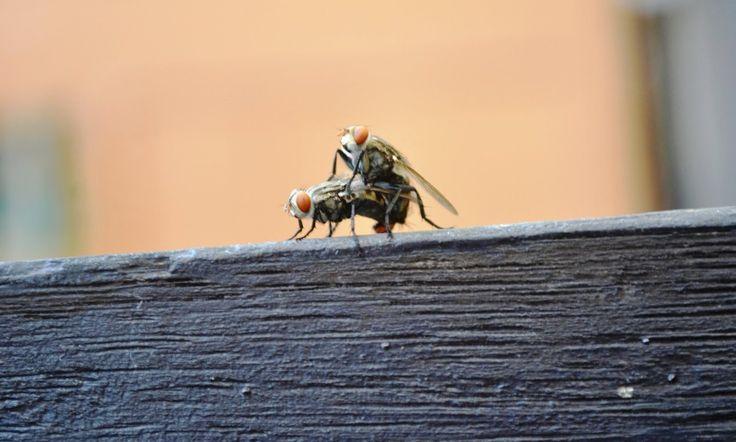 Foto Lalat Kawin