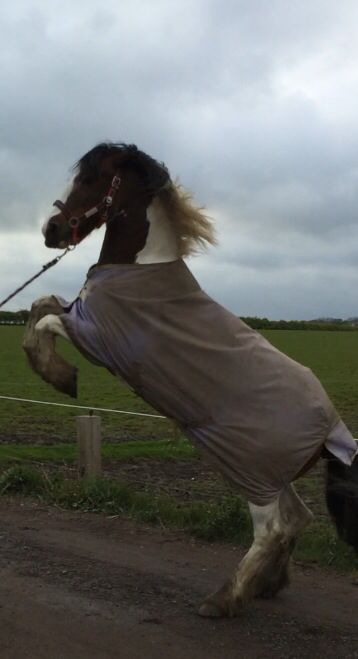 Rearing #equestrian #horse