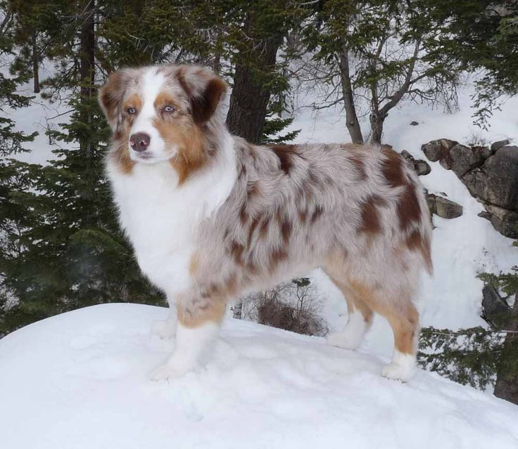 Looks like my Allie dog. Aussies are the best.