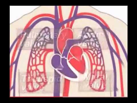 PROYECTOS 4º PRIMARIA EL TALLER : El sistema circulatorio