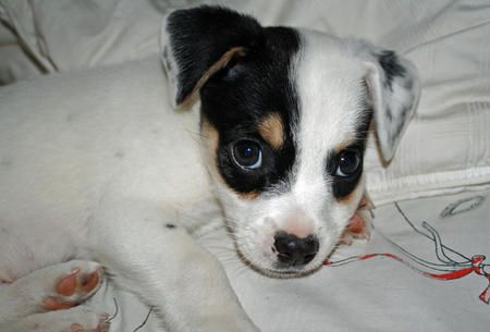 Toby the Jack Russell Terrier Mix