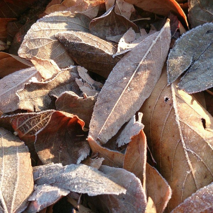 Morning frost on winter leaves