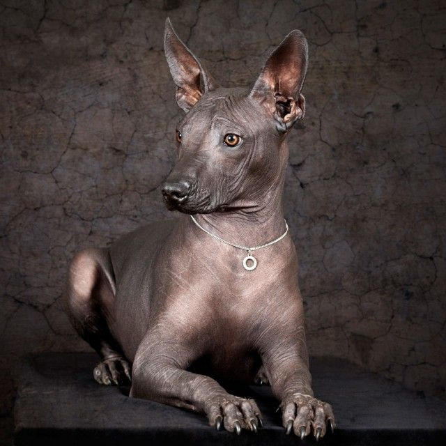 """The only creatures that are evolved enough to convey pure love are dogs and infants."" ~ Johnny Depp ♥ lis Xoloitzcuintli: This dog breed is Pronounced Sho-lo-eets-quint-lee. One of the most unusual and oldest dog breeds we have ever seen. Also, a little known fact about them…they were worshiped by the Aztecs. :-)"