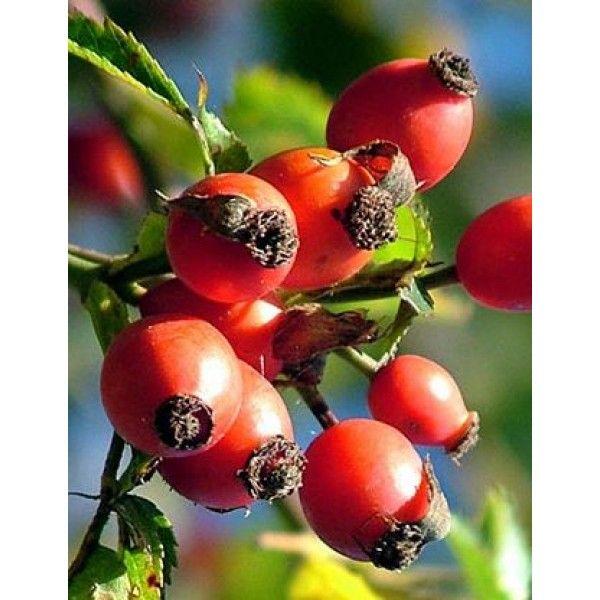 1 Kg. Kuşburnu Meyve Toz Ekstresi,Rosa Canina,Rosehip Fruit Extract - Doğal Tedavi - İbrahim Gökçek - Alternatif Tıp - Bitkisel Ürünler - İksir - Alovera - Bitkisel Sağlık Ürünleri - Şifalı Bitkiler - Bitkisel Setler - Bitkisel İlaçlar - Herbalist İlaç Değil Bitkisel Gıda Takviyesidir. www.alternatiftip.com.tr