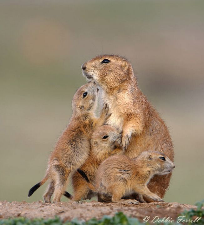 Prairie dog family.......