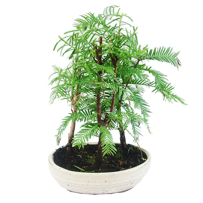 1000 images about bonsais on pinterest colors pre bonsai and interiors. Black Bedroom Furniture Sets. Home Design Ideas