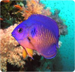 25 Best Ideas About Angelfish On Pinterest Pretty Fish