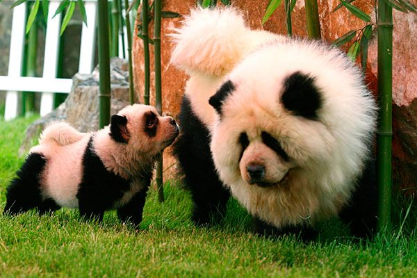 Panda Chows - I'd kinda forgotten about these... Chow Chow dogs, dyed